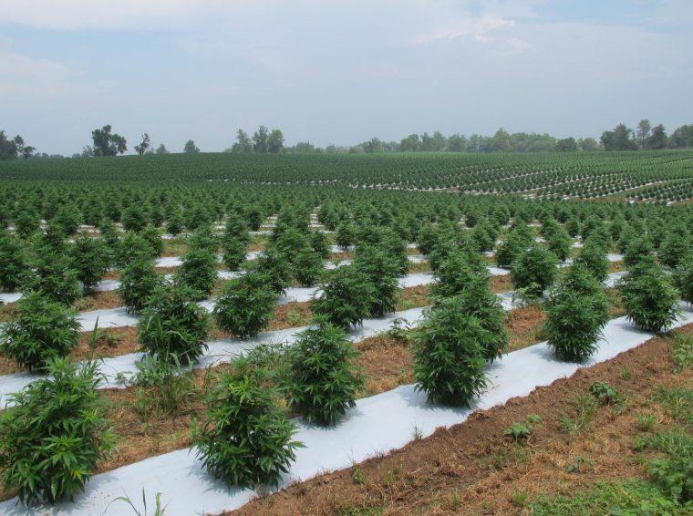 homepage slider - field of hemp